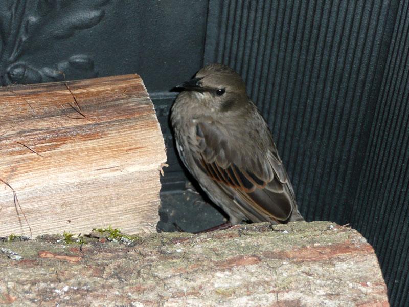 Photographie de l'oiseau dans la cheminée