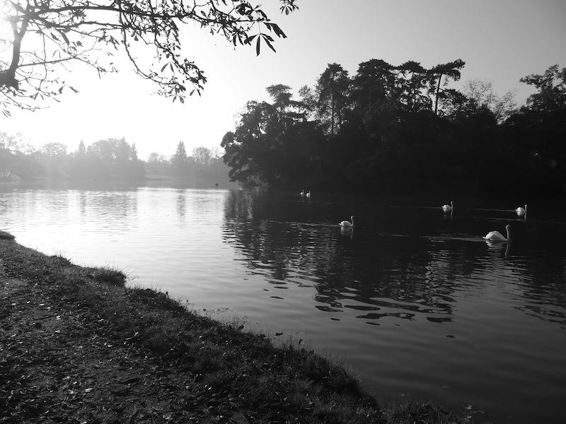 Cygnes sur un lac brumeux