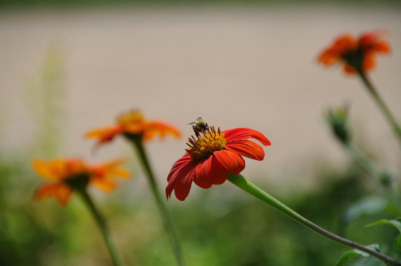 Photographie d'une abeille butinant une fleur rouge